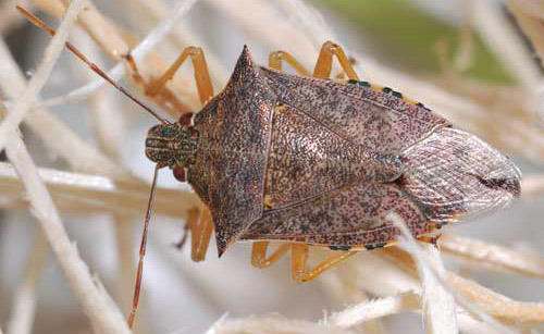 Creature Feature: Predatory Stink Bugs