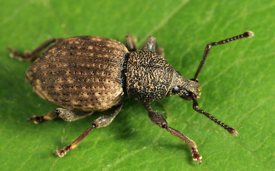 Creature Feature: Weevils